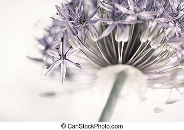 florecimiento, cebolla, flor
