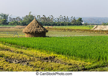 rice field with straw in thailand