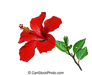 Hibiscus isolated - Red hibiscus flower with leaves isolated...