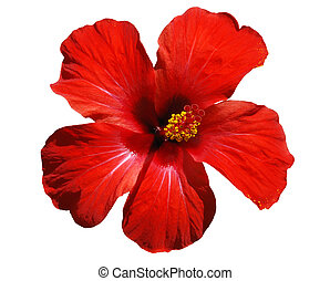 Hibiscus blossom - isolated flower on a white