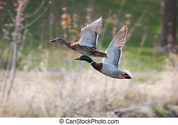 Mallards in flight in soft focus
