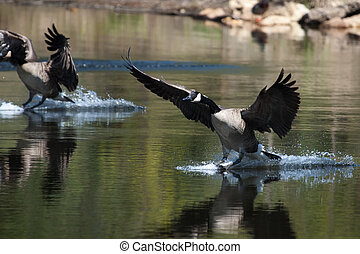 Canadian goose landing on water