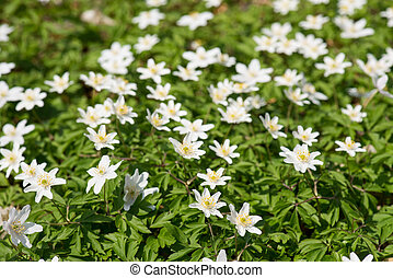 Wood anemones, anemone nemorosa in May on a sunny day