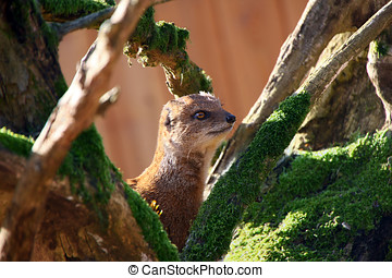 mongoose - A yellow mongoose in a tree on a sunny day