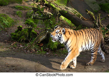 tiger - a tiger running roaring through the forest