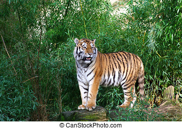 tiger - a tiger standing on a tree trunk