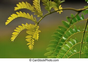 curves of gold - graceful growing tips of Gleditsia...
