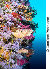 Colorful reef wall - A vibrantly colored reef wall in Fiji...