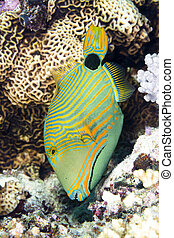 Green triggerfish - An exotic, tropical range lined...