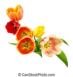 Tulips border - Tulips bunch as an adornment on pure white...