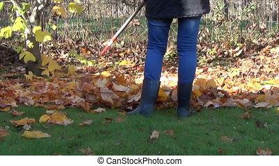 gardener rake leaves work - gardener rake in a pile of dry...