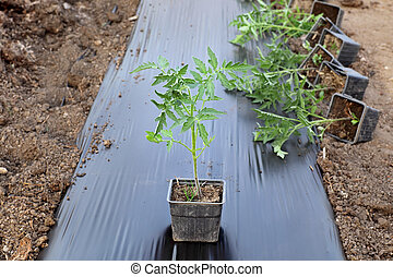 Agriculture, tomato plant - Growth of tomato plant seedlings...