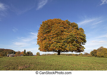 Horse chestnut tree in Germany - Horse chestnut tree...