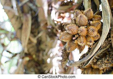 salak cultivar Sumalee (Salacca zalacca)