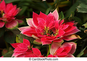 red poinsettia (Christmas Flower)