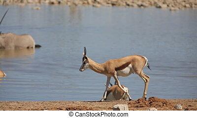 Springbok - Side view of Springboks against waterhole