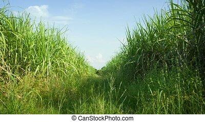 Sugarcane field. Thailand