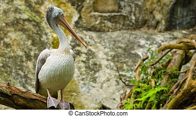 Pelican sitting on a branch