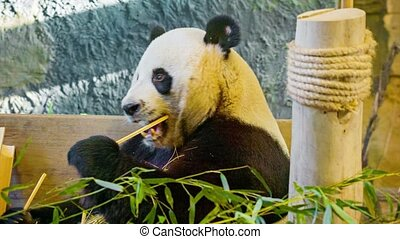 Panda eating bamboo closeup