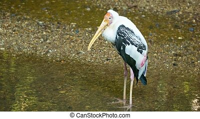 Yellow-billed stork in a puddle Mycteria ibis