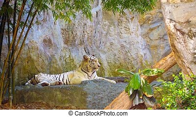 Tiger resting on a rock
