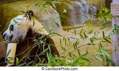 Funny panda eating bamboo close up