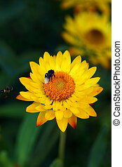 golden everlasting or strawflower. - golden everlasting or...