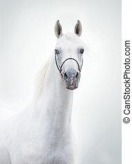 portrait of white beautiful arabian stallion
