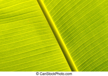 Banana leaves - a photo of season of Banana leaves Banana...
