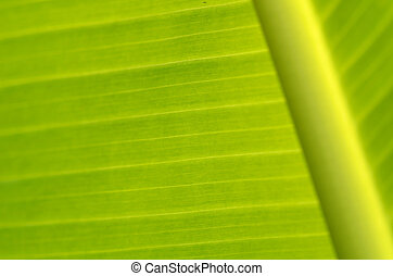 Banana leaves - a photo of season of Banana leaves / Banana...