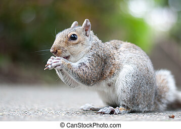 A squirrel eating a nut - A squirrel sitting on the ground...