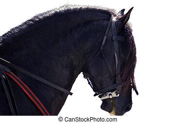 Black horse head isolated