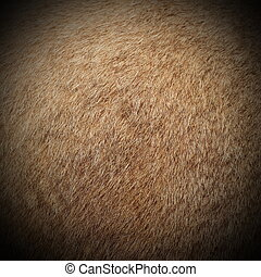 cougar fur - real cougar ( mountain lion, puma concolor )...