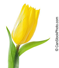 Yellow tulip isolated on white background.