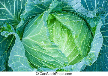 A head of cabbage. close-up of fresh cabbage in the...