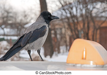 Rook, raven, - The bird rook costs on car roof