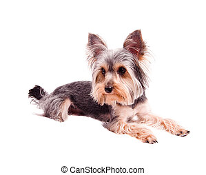 yorkshire terrier - Small puppy yorkshire a terrier curious