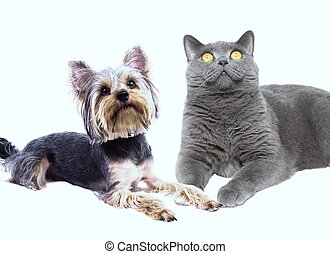dog and cat sitting next to - dog terrier and a British cat...