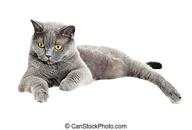 The British cat - Grey thoroughbred cat on white background