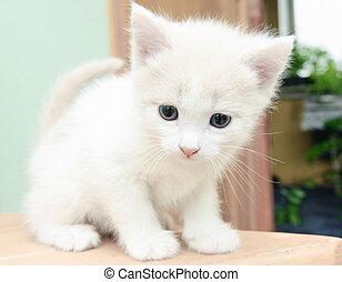 little kittens - funny little white kitten with blue eyes