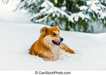 red dog on the snow - big red dog in the snow in the forest