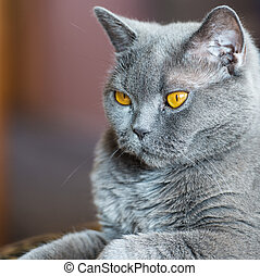 The British cat - Portrait of an adult cat British breed...
