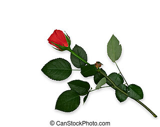 red rose - Single red rose against the white background