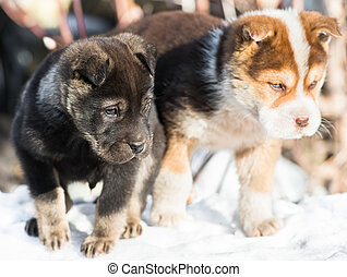 little puppy in the snow - two little puppies are bred...