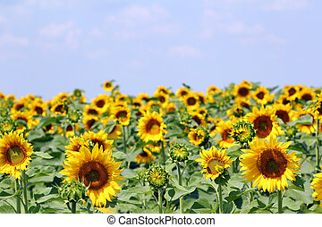 sunflower field with blue sky agriculture