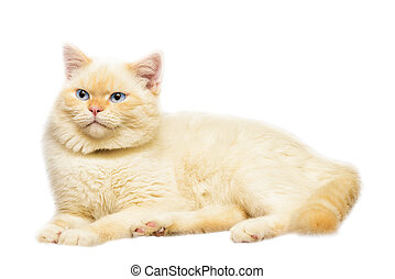 little kittens - housecat peach color with blue eyes on...