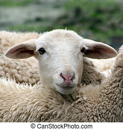 Close up of a lamb, sheep, huddled