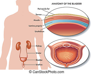male bladder - medical illustration of the anatomy of the...