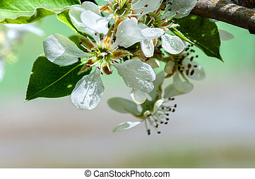 apple flower with water drops