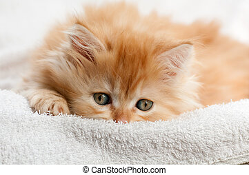 red kitten nestled against a white towel